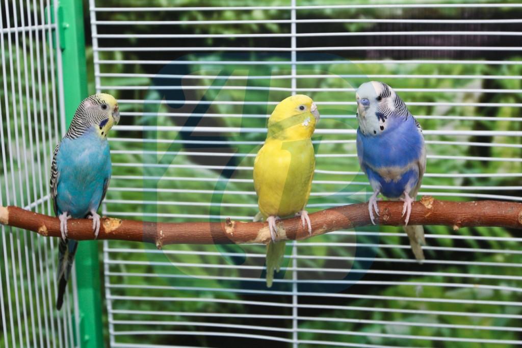 Волнистые попугаи звуки слушать чириканье